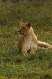 Orgulho de África o leão régio Imagem de Stock Royalty Free