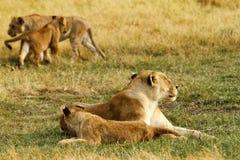 Orgulho de África o leão régio Imagens de Stock Royalty Free