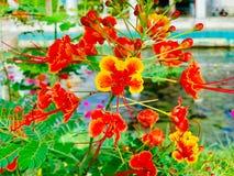 Orgulho de Barbados, flor de pavão imagem de stock royalty free