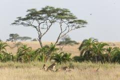 Orgulho de leões africanos no Serengeti, Tanzânia Foto de Stock Royalty Free