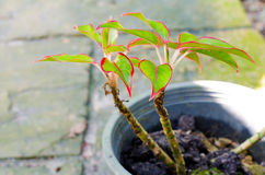 Orgulho de Sumatra (Aglaonema, evergreen chinês) fotografia de stock royalty free