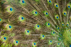 Orgulho do pavão Foto de Stock Royalty Free
