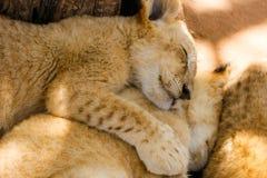 Orgulho do sono dos filhotes de leão Foto de Stock