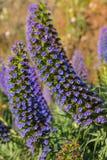 Orgulho dos candicans do Echium de flores do roxo de Madeira Fotos de Stock Royalty Free