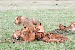 Orgulho dos leões fotografia de stock royalty free