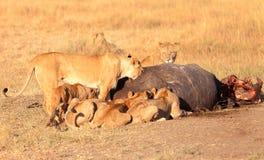 Orgulho dos leões que comem rezar no Masai Mara Fotografia de Stock