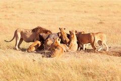Orgulho dos leões que comem rezar no Masai Mara Fotos de Stock Royalty Free