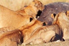 Orgulho dos leões que comem rezar no Masai Mara Fotografia de Stock Royalty Free