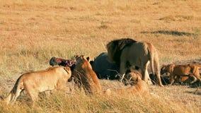 Orgulho dos leões que comem rezar no Masai Mara vídeos de arquivo