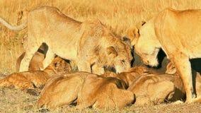 Orgulho dos leões que comem rezar no Masai Mara video estoque
