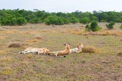 Orgulho dos leões que descansam no savana em África Fotos de Stock Royalty Free