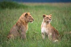 Orgulho novo dos leões (Serengeti, Tanzânia) Imagens de Stock
