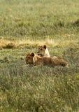Orgullo de África el león real Foto de archivo