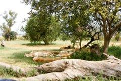 Orgullo de dormir de los leones Fotos de archivo