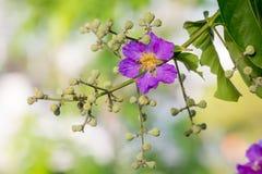 Orgullo de la flor de la India (la flor de la reina) Fotografía de archivo
