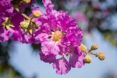 Orgullo de la flor de la India (la flor de la reina) Fotografía de archivo libre de regalías