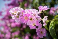 Orgullo de la flor de la India (la flor de la reina) Imagen de archivo libre de regalías