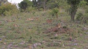 Orgullo de la leona y la mentira de reclinación del león por el arbusto de la sabana almacen de video