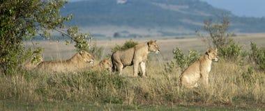 Orgullo de leones Fotos de archivo libres de regalías