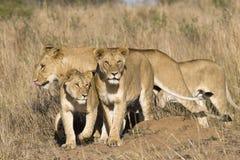 Orgullo de leones Foto de archivo libre de regalías