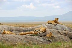 Orgullo de leones Imágenes de archivo libres de regalías
