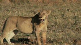 Orgullo de leones almacen de metraje de vídeo