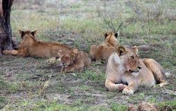 Orgullo de leones en Serengeti Foto de archivo