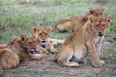 Orgullo de leones en Serengeti Fotos de archivo libres de regalías