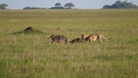 Orgullo de los leones que comen la presa cogida en la fauna africana de la sabana de la reserva almacen de video