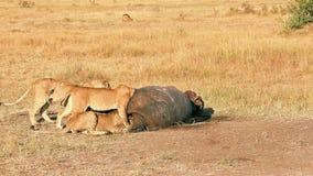 Orgullo de los leones que comen una rogación en Masai Mara almacen de video
