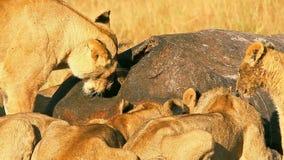 Orgullo de los leones que comen una rogación en Masai Mara metrajes