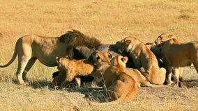 Orgullo de los leones que comen una rogación en Masai Mara almacen de metraje de vídeo