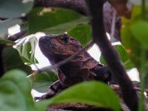 Orgullo de reptil stock photo