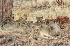 Orgullo de seis leones, parque nacional de Tarangire, Manyara, África fotografía de archivo libre de regalías