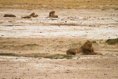 Orgullo del león Imagenes de archivo