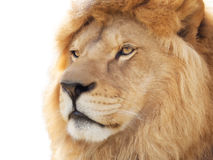 Orgullo del león Imagen de archivo libre de regalías