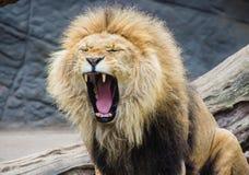 Orgullo del león de la selva imagenes de archivo