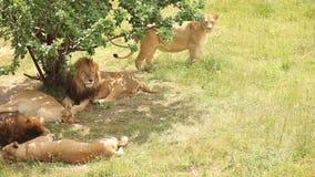 Orgullo del león en sombras del árbol almacen de metraje de vídeo