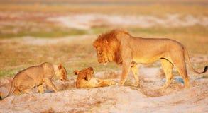 Orgullo del león (panthera leo) Foto de archivo