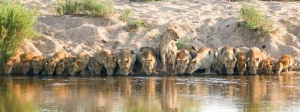 Orgullo del león que bebe en el parque nacional Suráfrica de Kruger imagen de archivo
