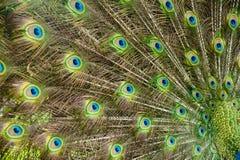 Orgullo del pavo real Foto de archivo libre de regalías