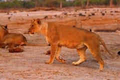 Orgullo magnífico de la familia de los leones en conjunto Fotos de archivo