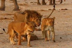 Orgullo magnífico de la familia de los leones en conjunto Imagenes de archivo