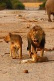 Orgullo magnífico de leones con los cachorros Fotos de archivo