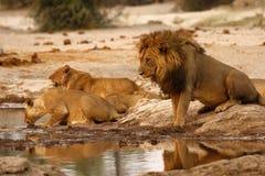 Orgullo magnífico de leones con los cachorros en el waterhole Foto de archivo libre de regalías