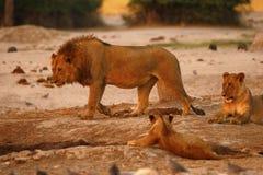 Orgullo magnífico de leones con los cachorros en el waterhole Imagen de archivo