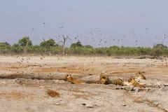 Orgullo magnífico de leones con los cachorros en el waterhole Foto de archivo