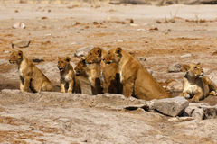 Orgullo magnífico de los leones alineados Imagenes de archivo