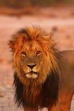 Orgullo magnífico de los leones del papá del cierre para arriba Imagen de archivo