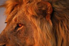 Orgullo magnífico de los leones del papá del cierre para arriba Fotos de archivo libres de regalías